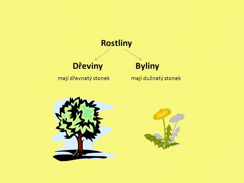 Rostliny Dřeviny Byliny mají dřevnatý stonek mají dužnatý stonek