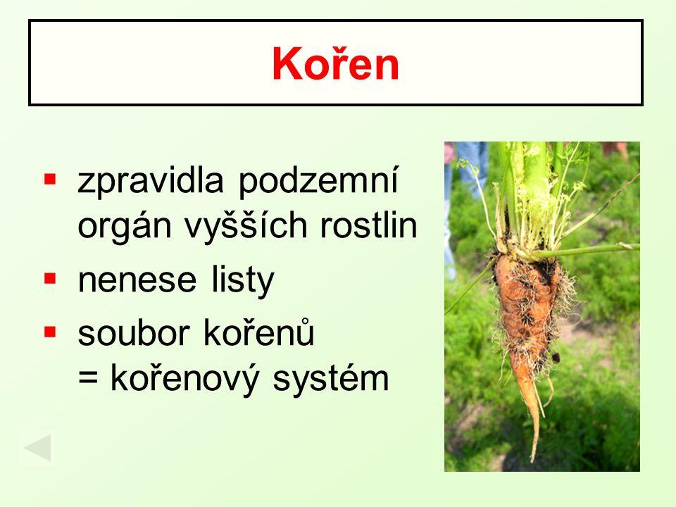 Kořen zpravidla podzemní orgán vyšších rostlin nenese listy