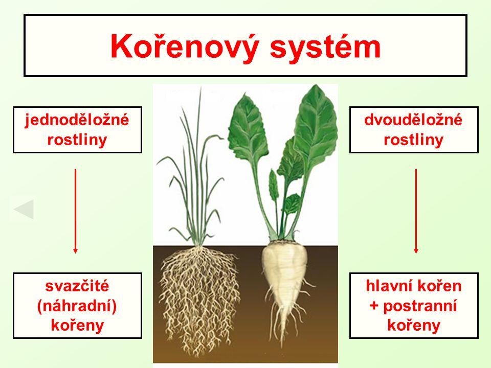 Kořenový systém jednoděložné rostliny dvouděložné rostliny