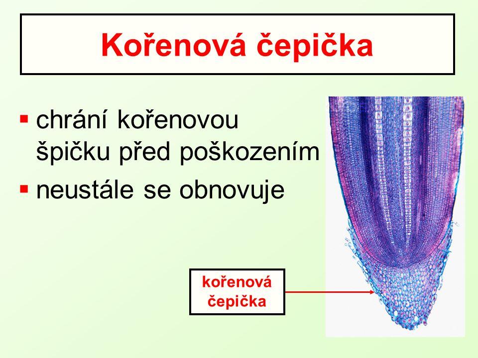 Kořenová čepička chrání kořenovou špičku před poškozením