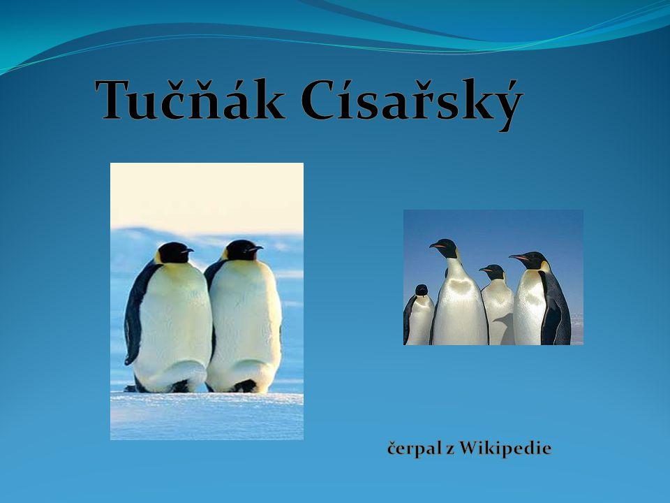 Tučňák Císařský čerpal z Wikipedie
