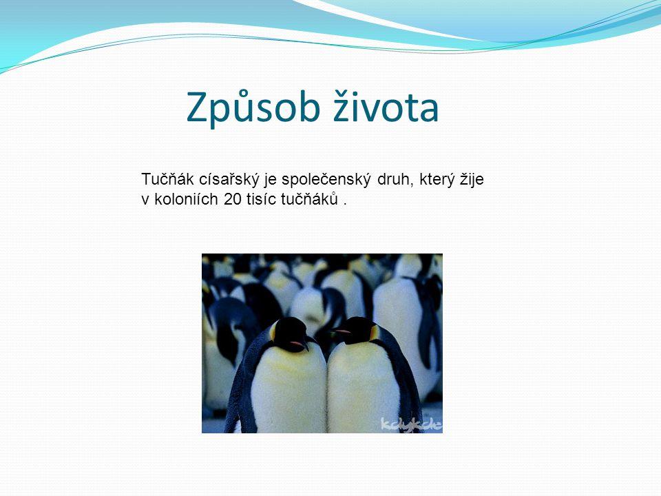 Způsob života Tučňák císařský je společenský druh, který žije v koloniích 20 tisíc tučňáků .