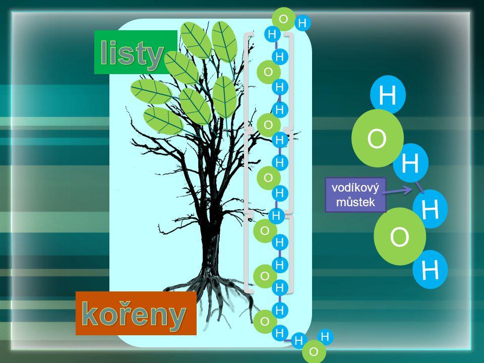 O H listy H O H O H vodíkový můstek H O H kořeny H O
