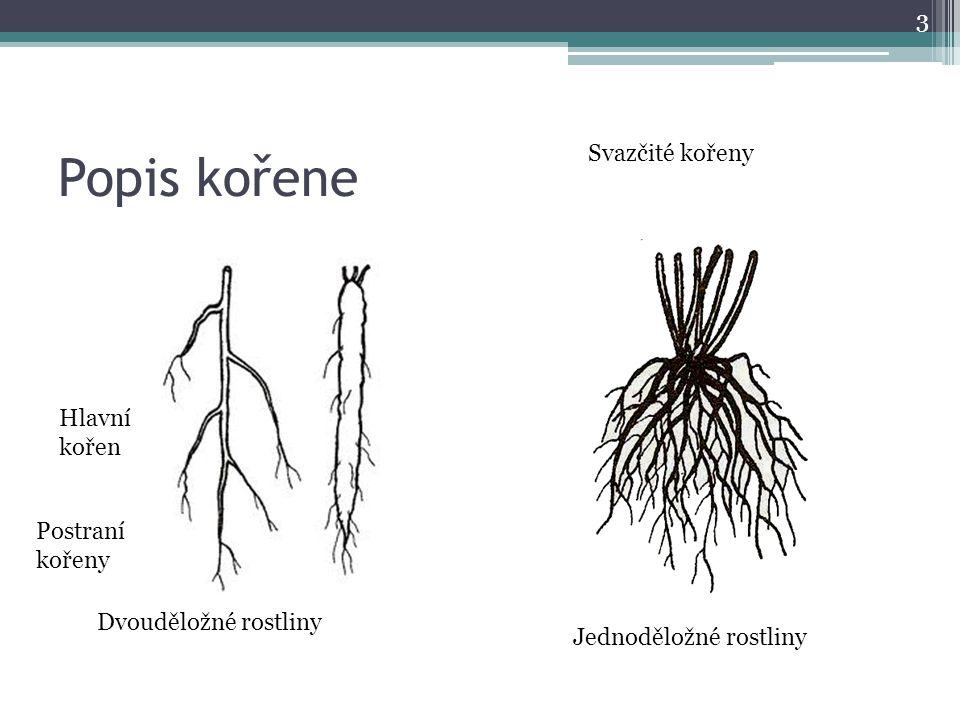 Popis kořene Svazčité kořeny Hlavní kořen Postraní kořeny