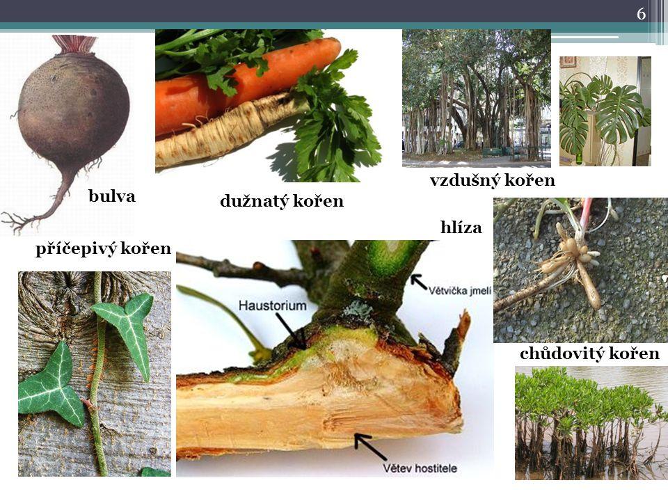 vzdušný kořen bulva dužnatý kořen hlíza příčepivý kořen chůdovitý kořen