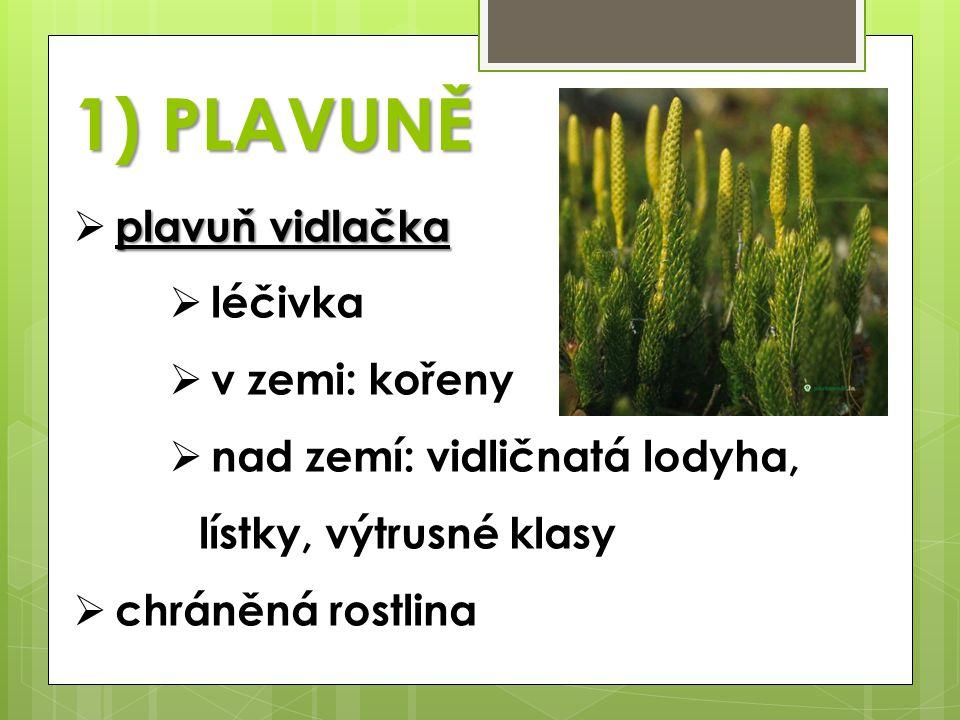 1) PLAVUNĚ plavuň vidlačka léčivka v zemi: kořeny