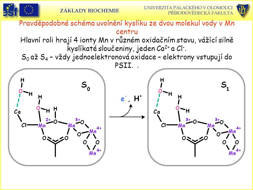 Pravděpodobné schéma uvolnění kyslíku ze dvou molekul vody v Mn centru Hlavní roli hrají 4 ionty Mn v různém oxidačním stavu, vážící silně kyslíkaté sloučeniny, jeden Ca2+ a Cl-.