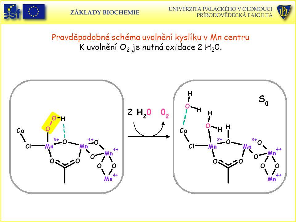 Pravděpodobné schéma uvolnění kyslíku v Mn centru K uvolnění O2 je nutná oxidace 2 H20.