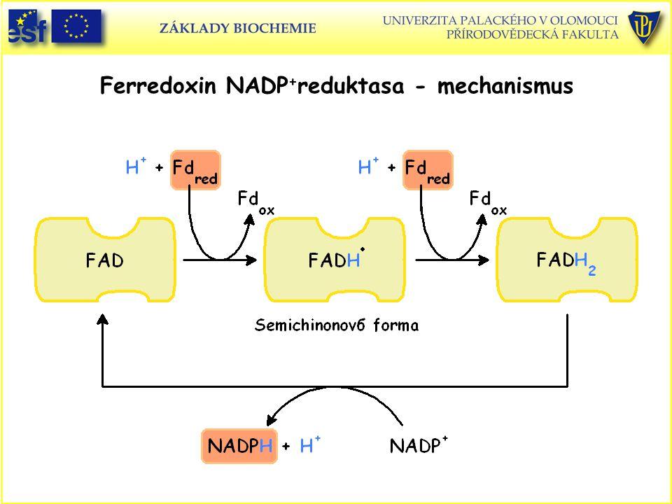 Ferredoxin NADP+reduktasa - mechanismus