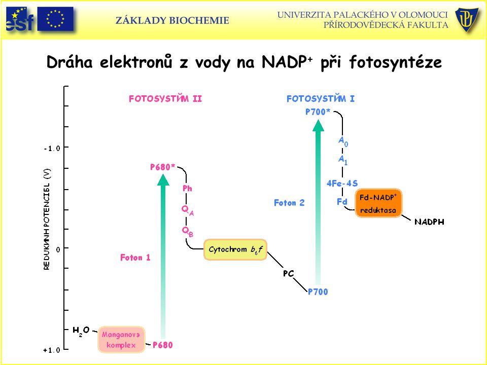 Dráha elektronů z vody na NADP+ při fotosyntéze