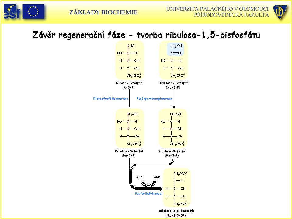Závěr regenerační fáze - tvorba ribulosa-1,5-bisfosfátu