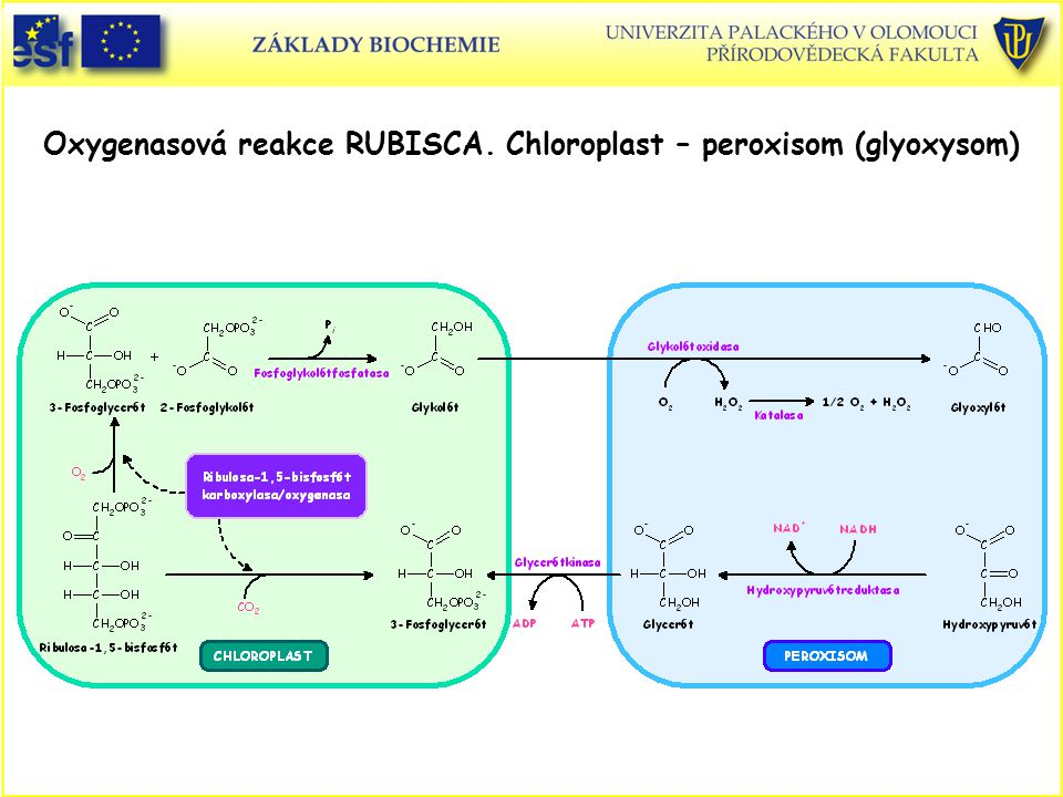 Oxygenasová reakce RUBISCA. Chloroplast – peroxisom (glyoxysom)
