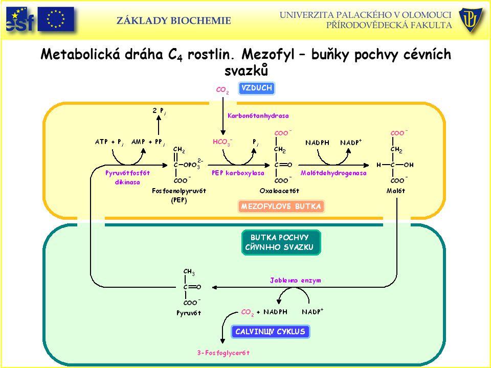 Metabolická dráha C4 rostlin. Mezofyl – buňky pochvy cévních svazků