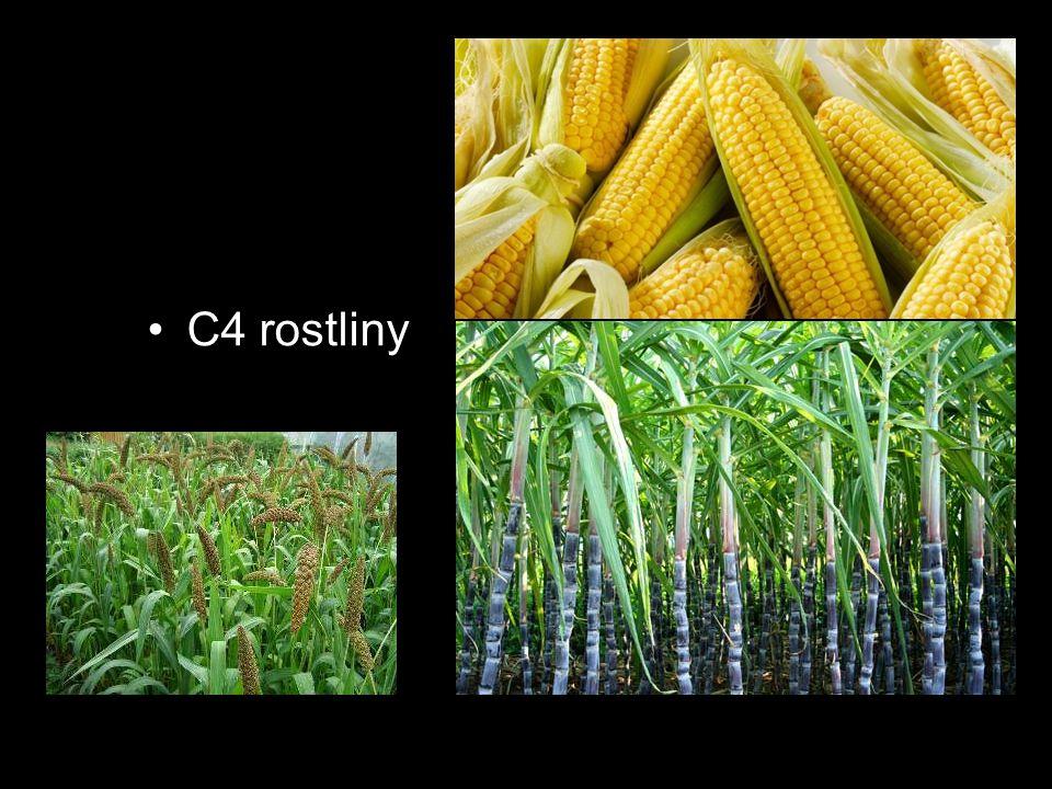 C4 rostliny C4 rostliny