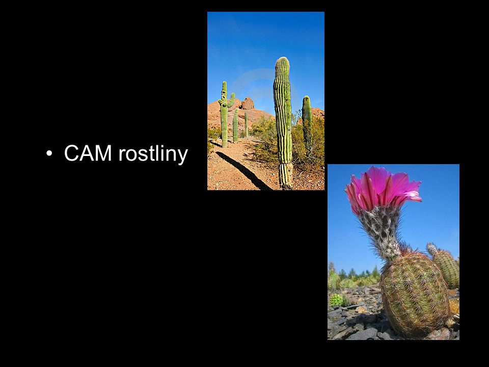 CAM rostliny CAM rostliny