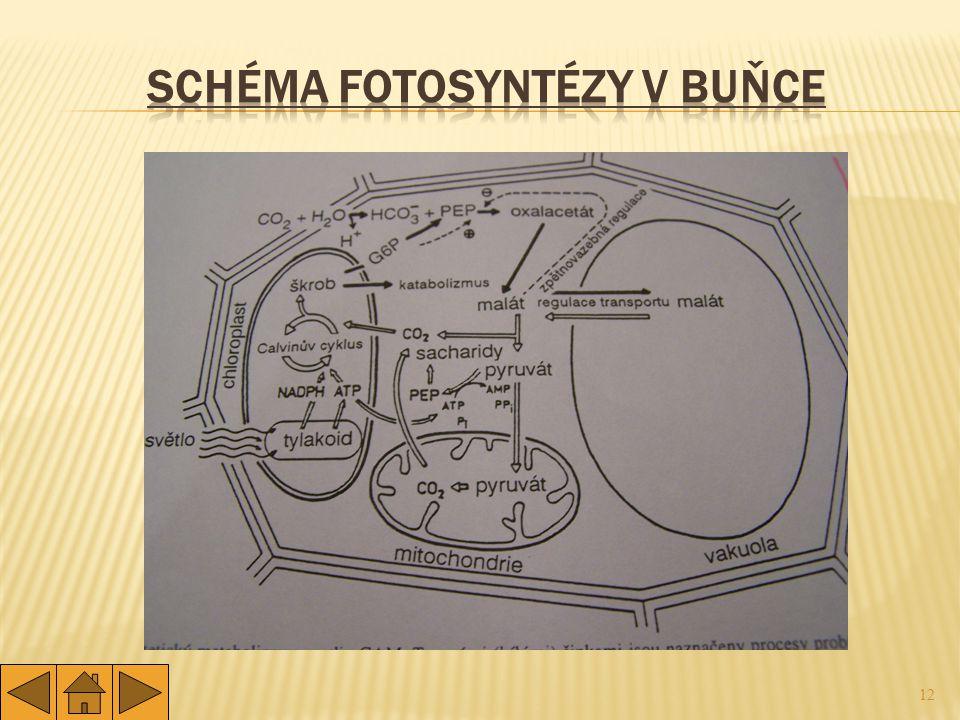 Schéma fotosyntézy v buňce