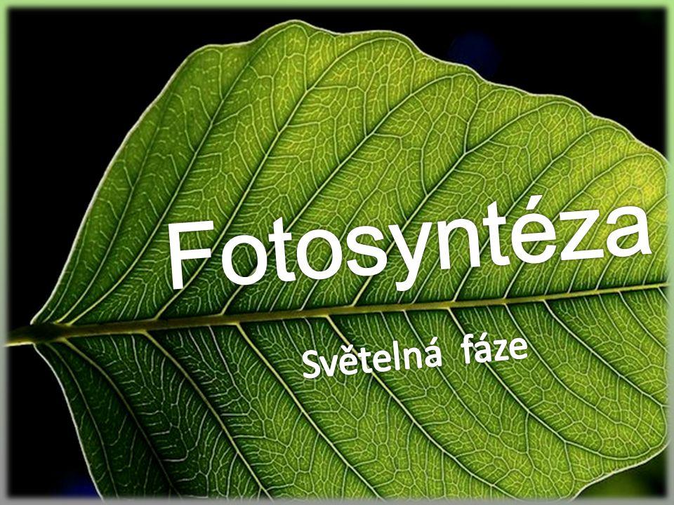 Fotosyntéza Světelná fáze