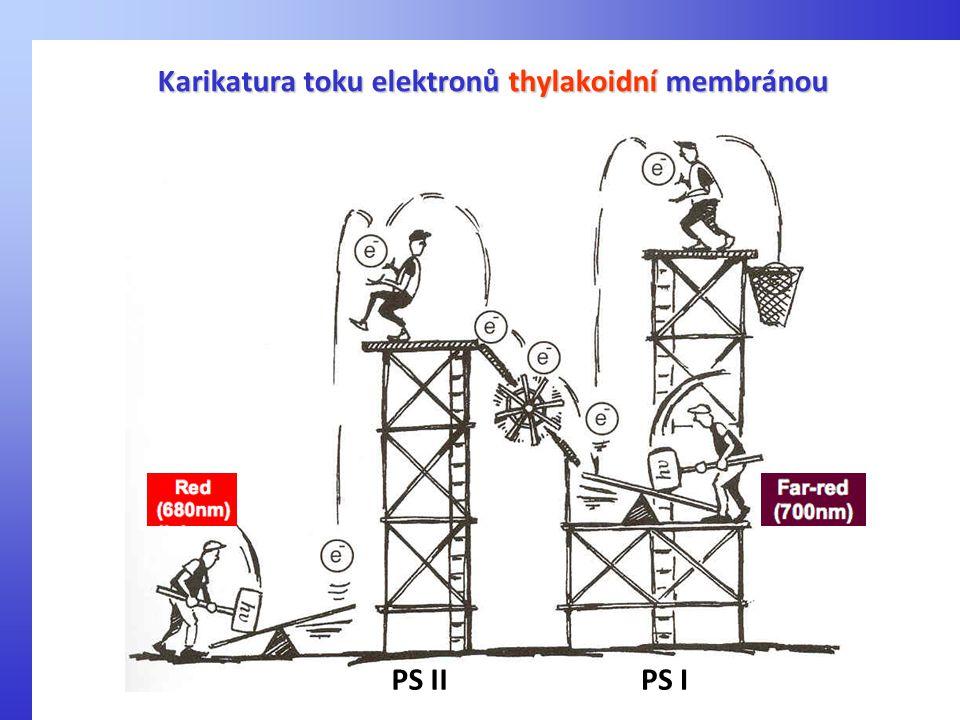 Karikatura toku elektronů thylakoidní membránou