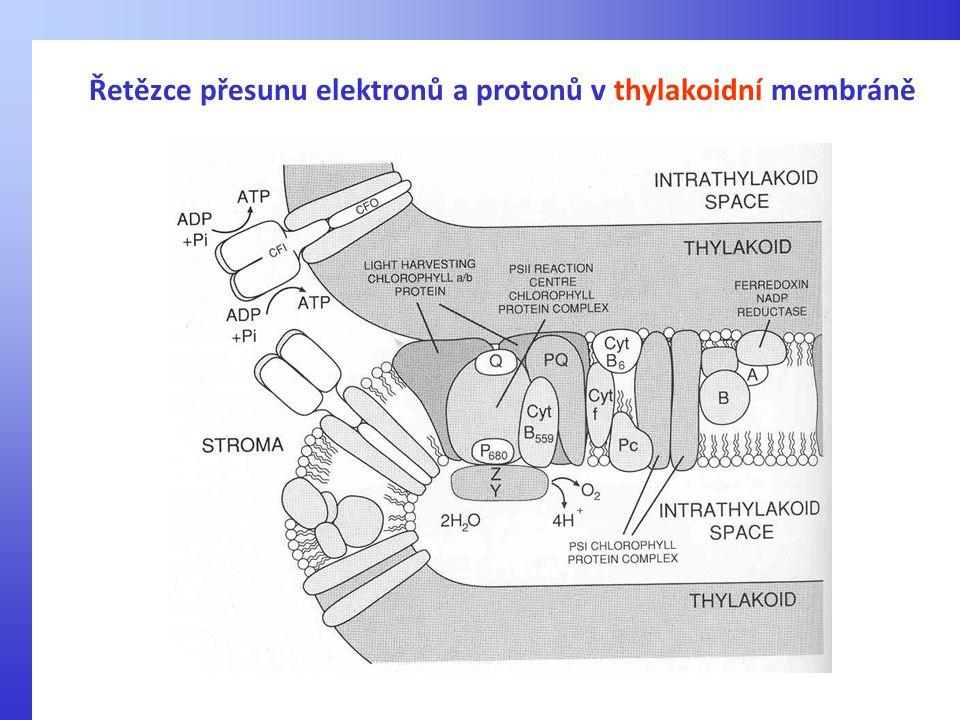 Řetězce přesunu elektronů a protonů v thylakoidní membráně