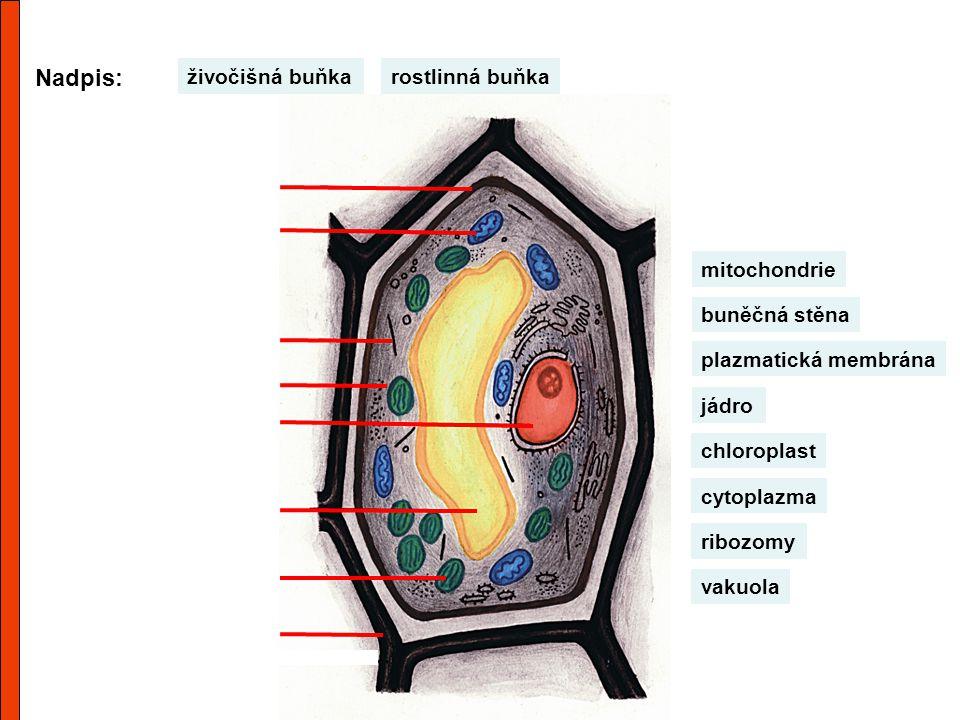 Nadpis: živočišná buňka rostlinná buňka mitochondrie buněčná stěna