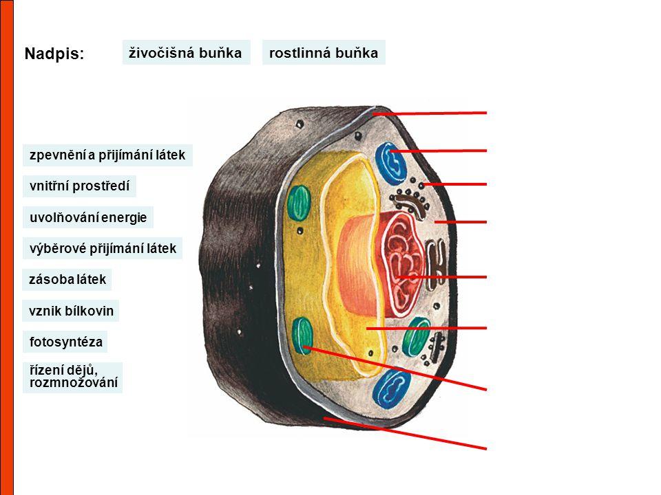 Nadpis: živočišná buňka rostlinná buňka zpevnění a přijímání látek