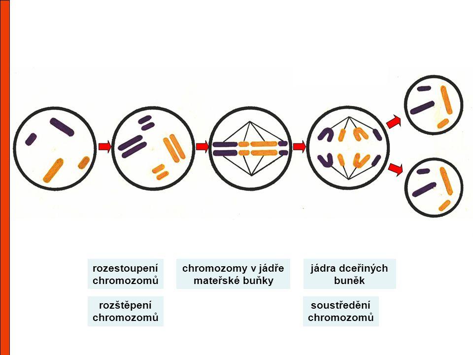 chromozomy v jádře mateřské buňky