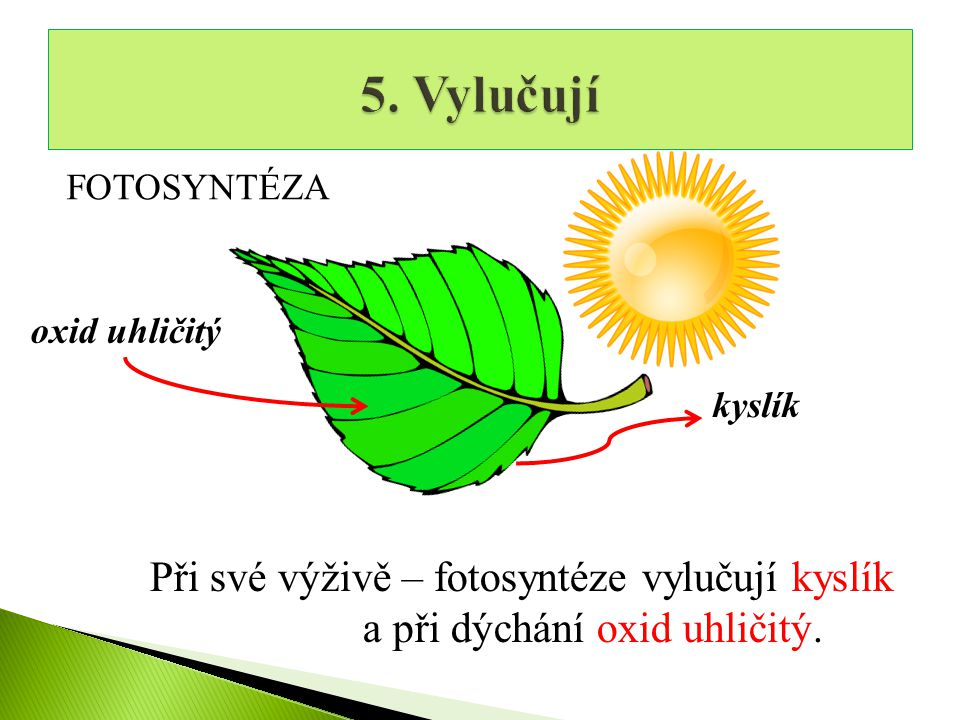 5. Vylučují Při své výživě – fotosyntéze vylučují kyslík
