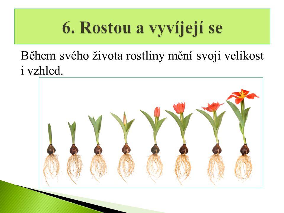6. Rostou a vyvíjejí se Během svého života rostliny mění svoji velikost i vzhled.
