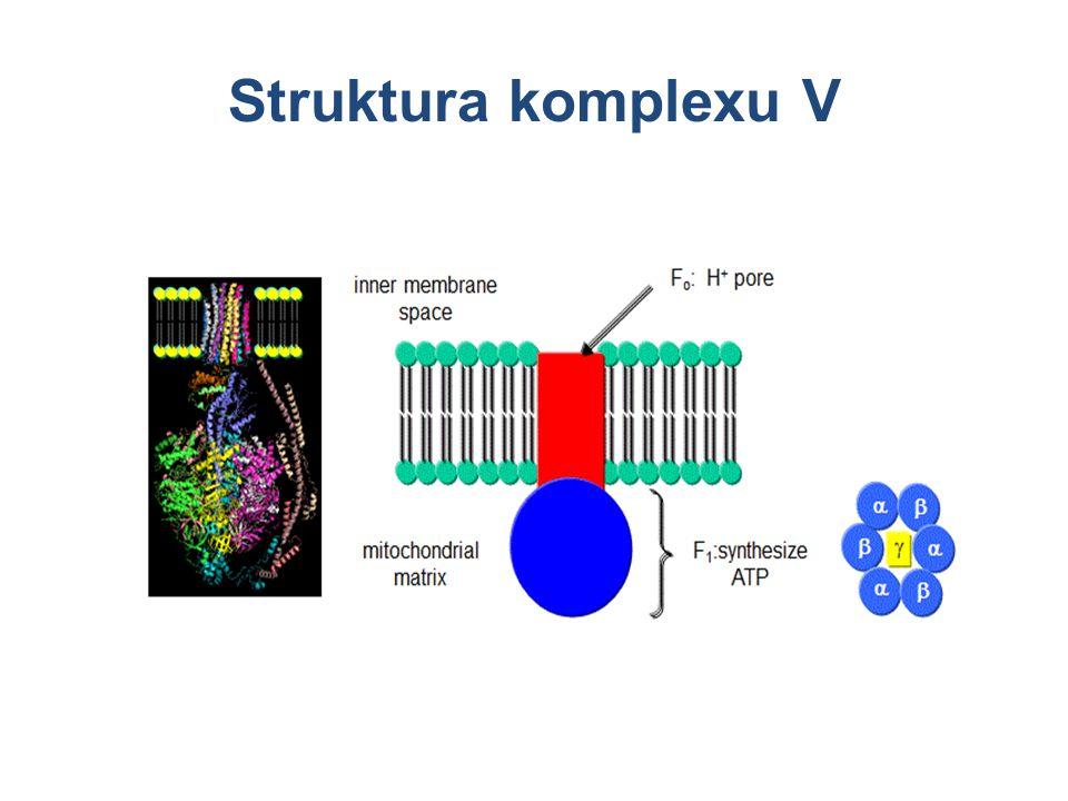 Struktura komplexu V
