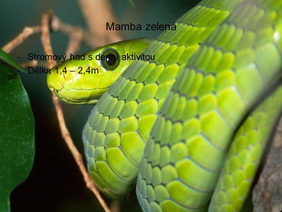 Mamba zelená Stromový had s denní aktivitou Délka 1,4 – 2,4m
