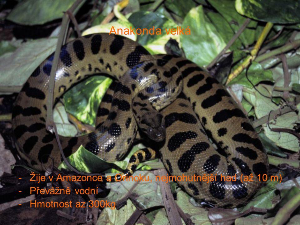 Anakonda velká Žije v Amazonce a Orinoku, nejmohutnější had (až 10 m)