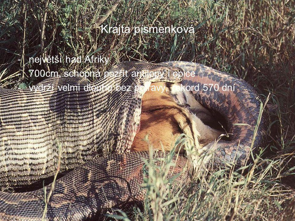 Krajta písmenková největší had Afriky