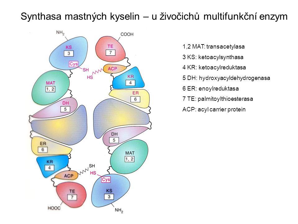 Synthasa mastných kyselin – u živočichů multifunkční enzym