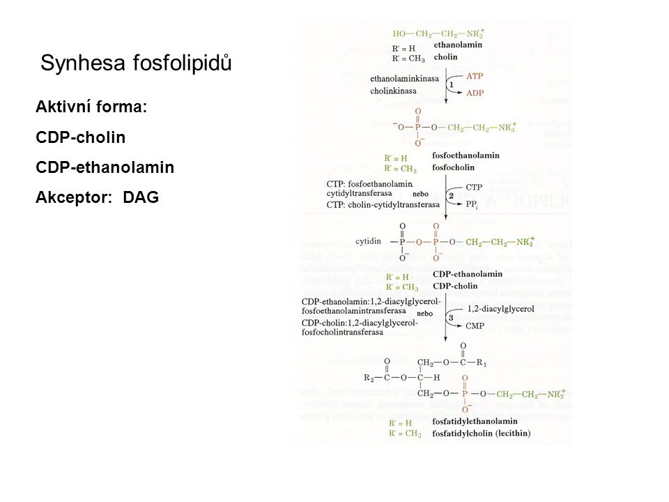 Synhesa fosfolipidů Aktivní forma: CDP-cholin CDP-ethanolamin