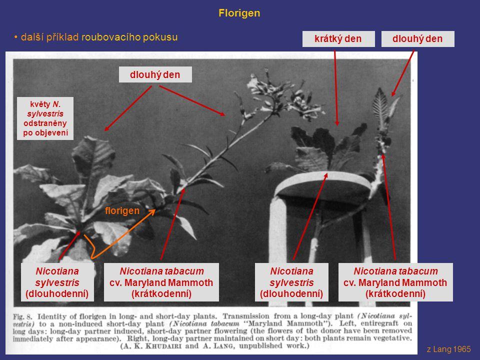květy N. sylvestris odstraněny po objevení