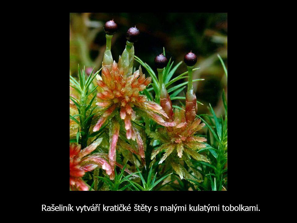 Rašeliník vytváří kratičké štěty s malými kulatými tobolkami.