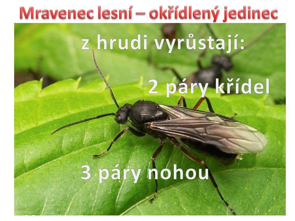 Mravenec lesní – okřídlený jedinec