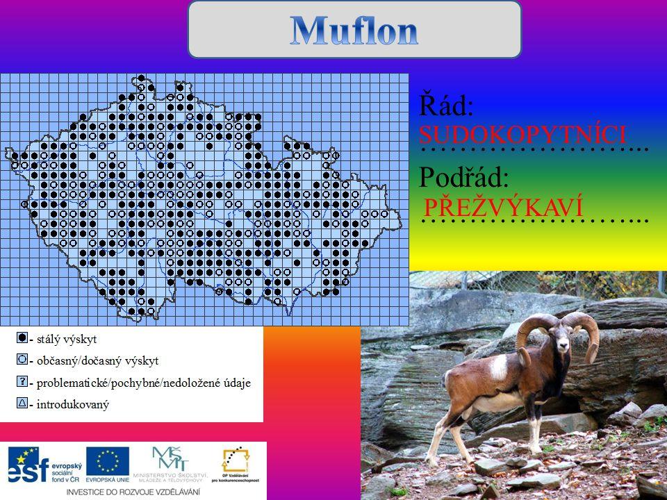 Muflon Řád: …………………... Podřád: SUDOKOPYTNÍCI PŘEŽVÝKAVÍ