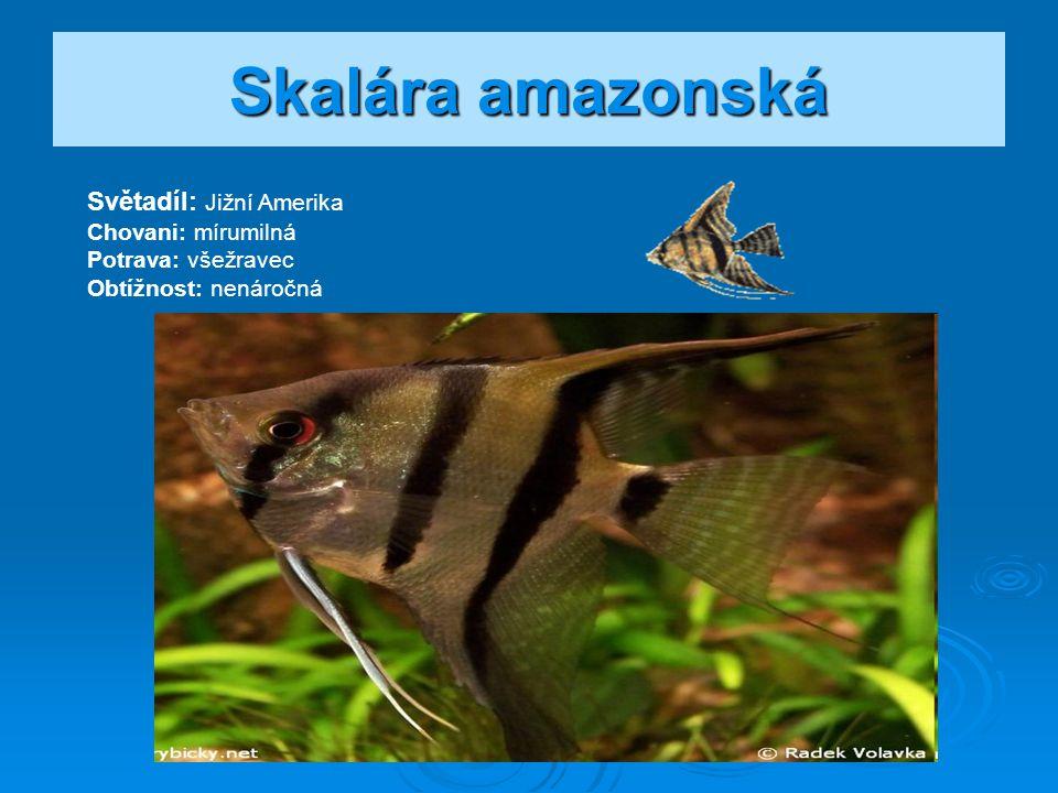 Skalára amazonská Světadíl: Jižní Amerika Chovani: mírumilná