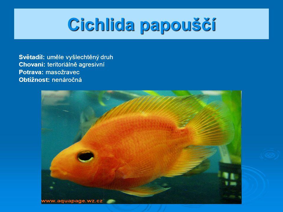 Cichlida papouščí Světadíl: uměle vyšlechtěný druh