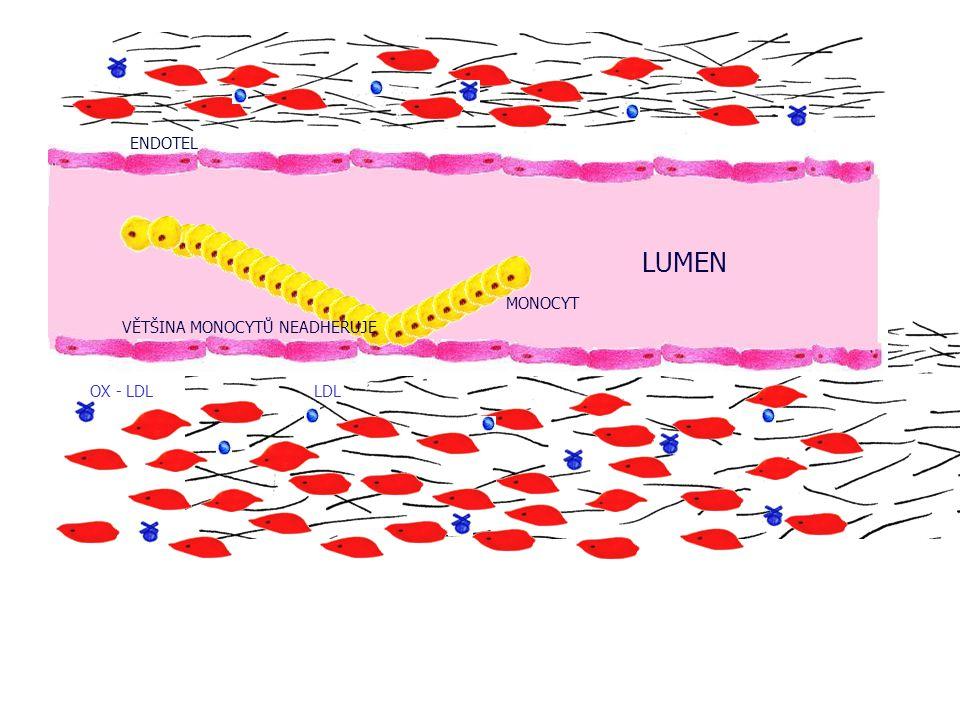 ENDOTEL LUMEN MONOCYT VĚTŠINA MONOCYTŮ NEADHERUJE OX - LDL LDL