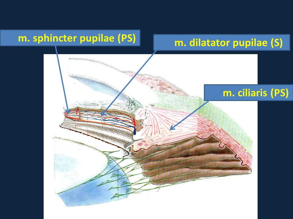 m. sphincter pupilae (PS) m. dilatator pupilae (S)