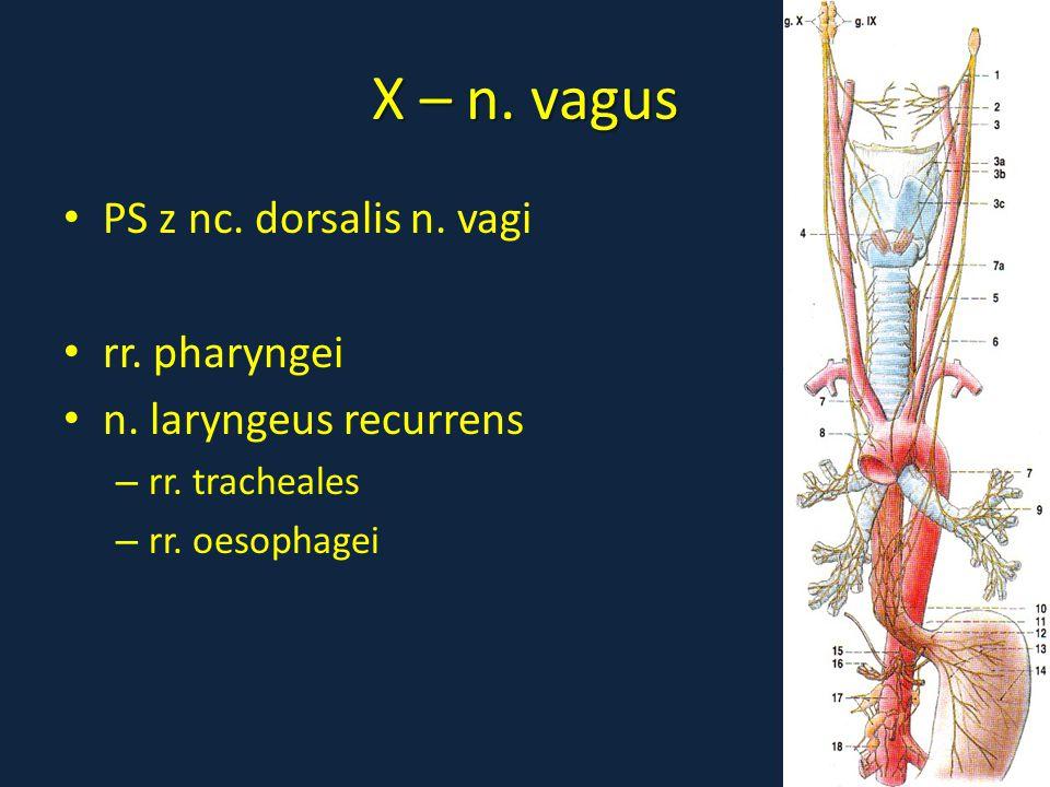 X – n. vagus PS z nc. dorsalis n. vagi rr. pharyngei