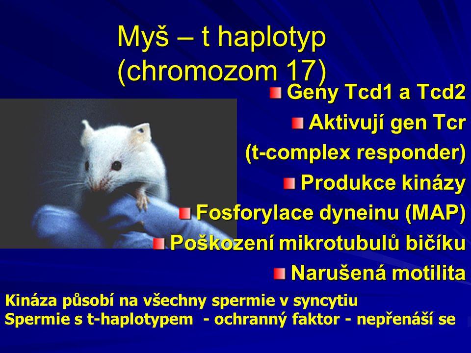 Myš – t haplotyp (chromozom 17)