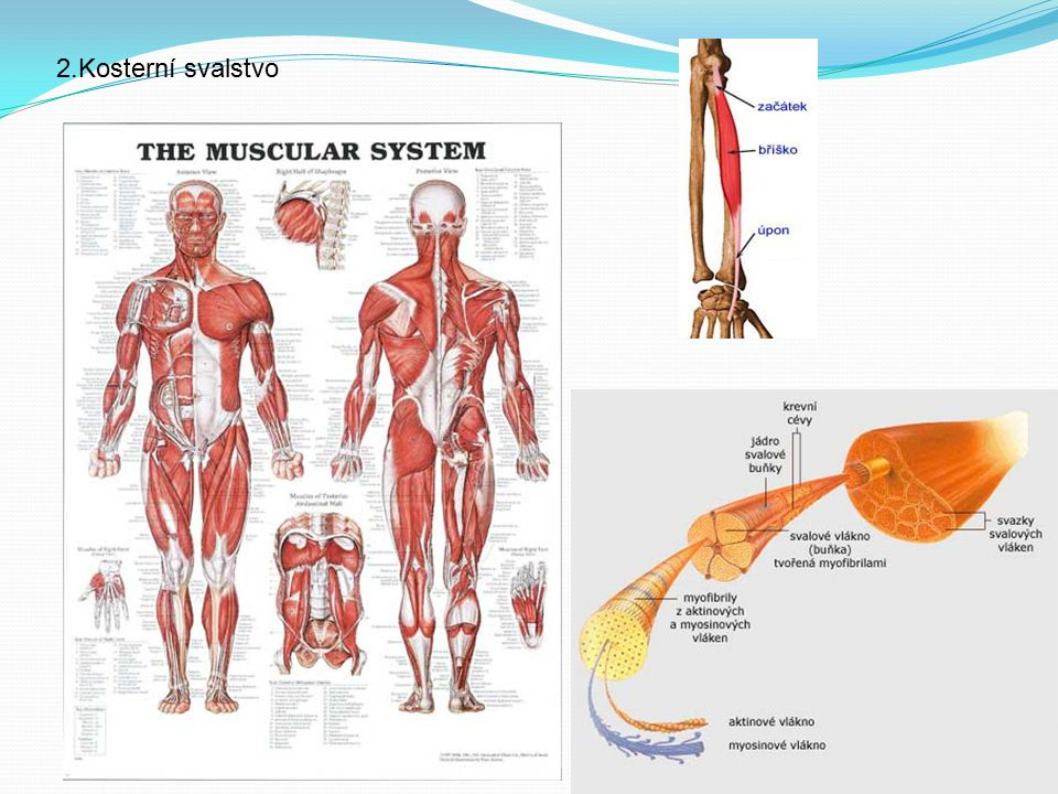 2.Kosterní svalstvo