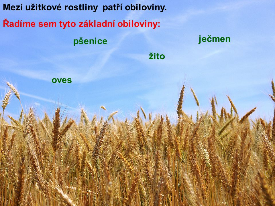 Mezi užitkové rostliny patří obiloviny.