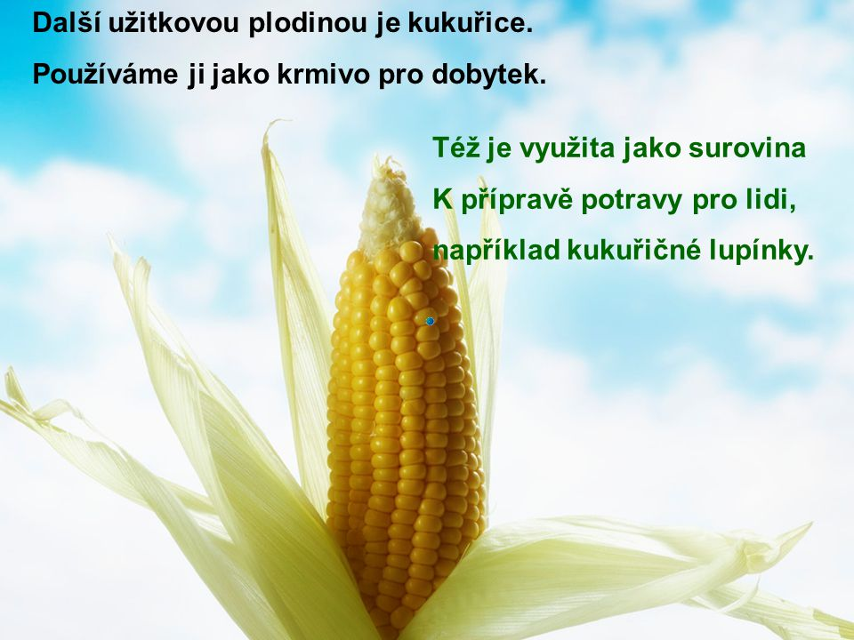 Další užitkovou plodinou je kukuřice.