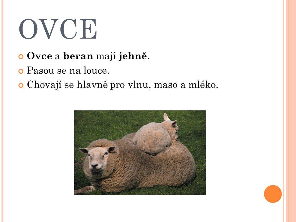 OVCE Ovce a beran mají jehně. Pasou se na louce.