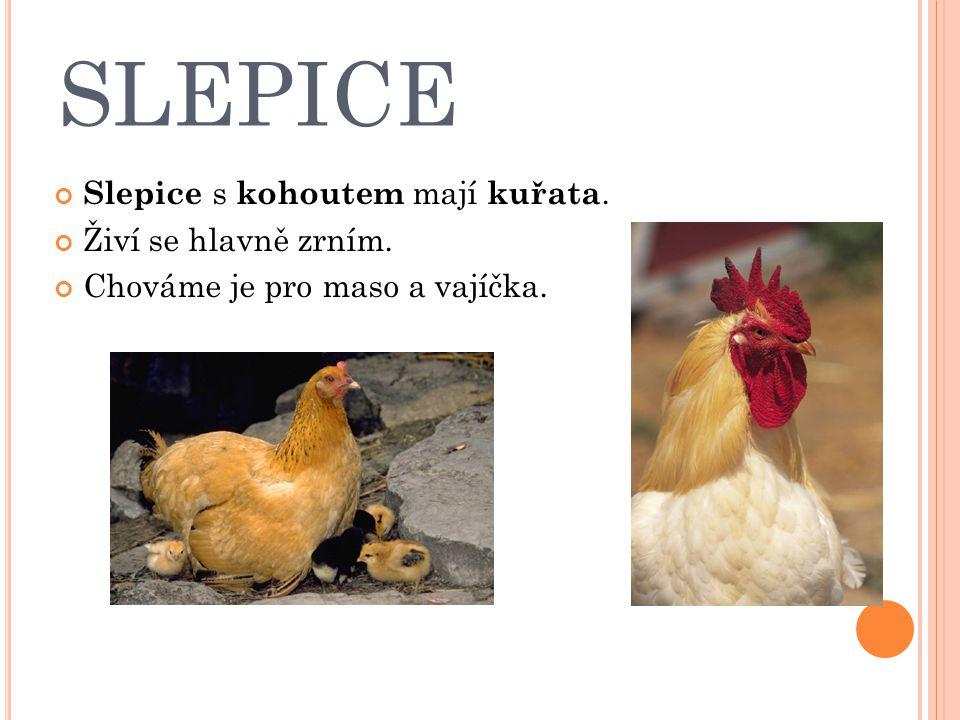 SLEPICE Slepice s kohoutem mají kuřata. Živí se hlavně zrním.