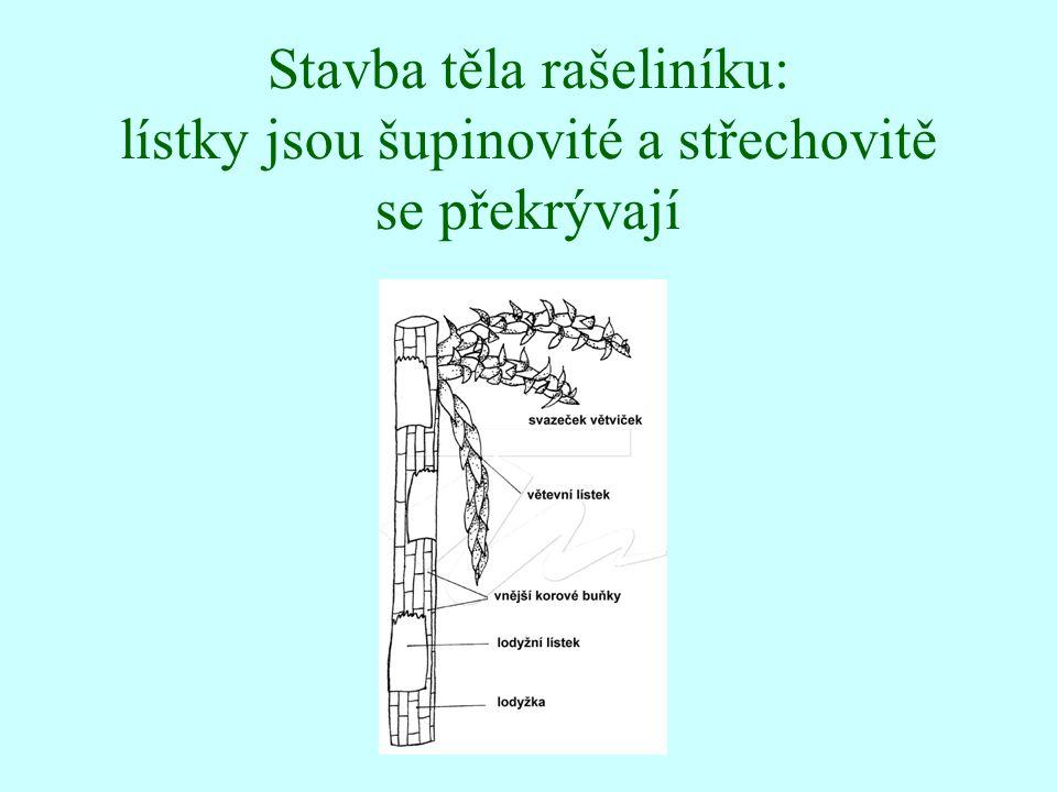 Stavba těla rašeliníku: lístky jsou šupinovité a střechovitě se překrývají